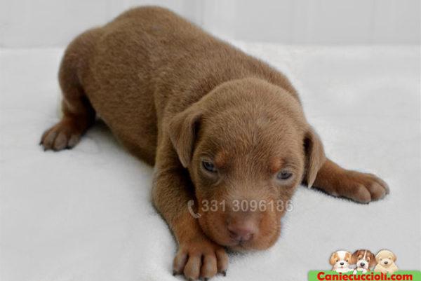 Cucciolo di Dobermann