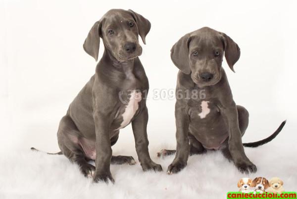 Vendita alano cuccioli milano cani e cuccioli for Tequila e bonetti cane razza