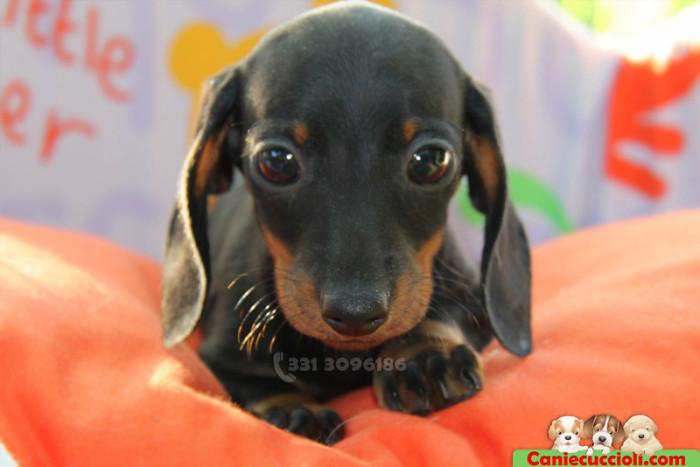 Vendita cuccioli bassotto tedesco kaninchen e nano a milano for Bassotto nano carattere