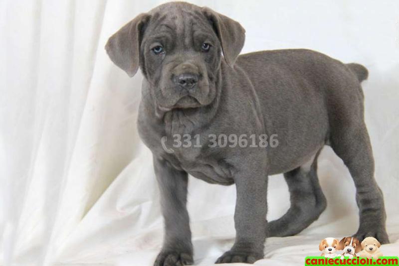 Vendita cuccioli cane corso milano cani e cuccioli for Corso stilista milano