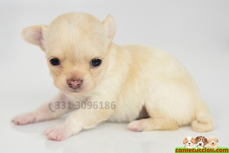 Elegant Vendita Cuccioli Chihuahua Toy