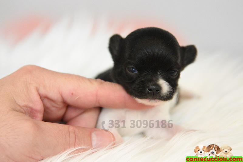 Cuccioli chihuahua toy in regalo sicilia