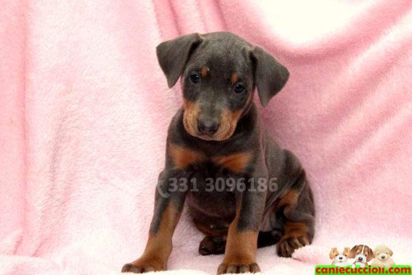 Cucciolo di Dobermann nerofocato