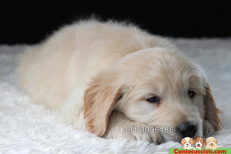 Vendita cuccioli golden retriever milano cani e cuccioli for Cani giocherelloni