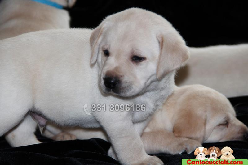 Vendita cuccioli labrador milano cani e cuccioli for Cani giocherelloni