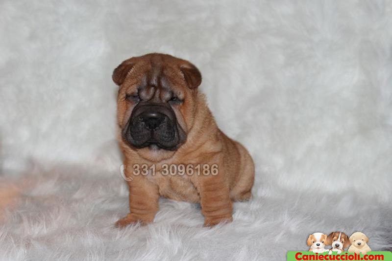 Vendita Cuccioli Shar Pei Milano - Cani e Cuccioli