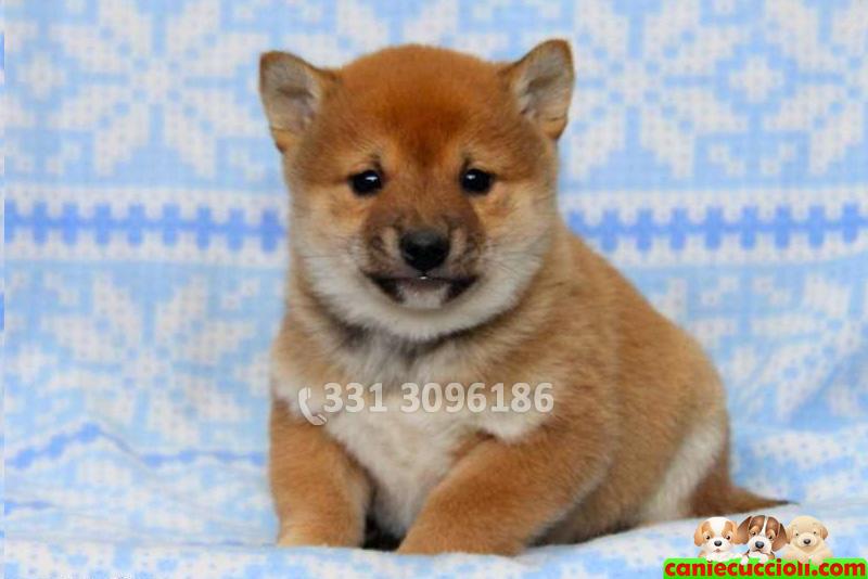 Vendita cuccioli shiba inu milano cani e cuccioli for Cani giocherelloni