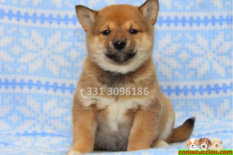 Vendita Cuccioli Shiba Inu Milano - Cani e Cuccioli