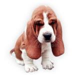 vendita cuccioli basset hound