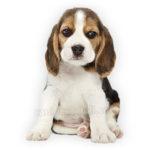 vendita cuccioli beagle