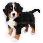 vendita cuccioli Bovaro Del Bernese