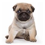 vendita cuccioli carlino