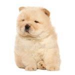 vendita cuccioli chow chow