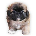 vendita cuccioli pechinese