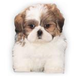 vendita cuccioli shih tzu