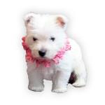 vendita cuccioli west highland