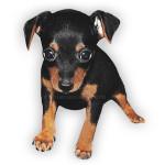 vendita cuccioli pinscher nano