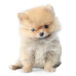 vendita cuccioli spitz nano toy