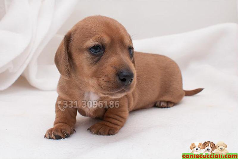 Vendita cuccioli bassotto nano e kaninchen a milano for Bassotto prezzo