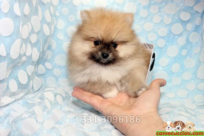 Vendita Spitz Nano E Toy Cani E Cuccioli