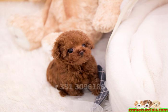 Vendita barboncino toy e nano cani e cuccioli for Carattere barboncino