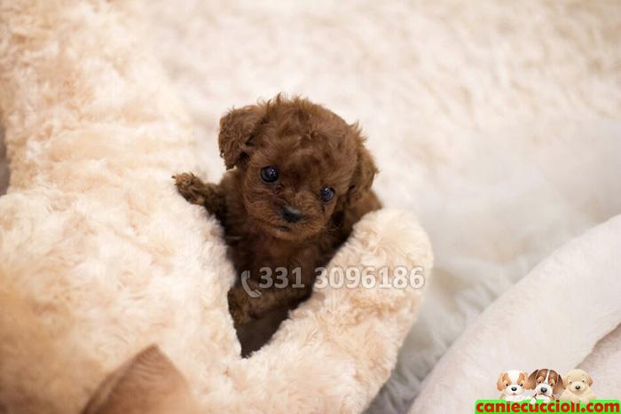 Vendita barboncino toy e nano cani e cuccioli for Cane barboncino toy