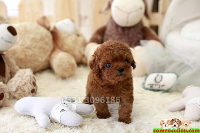 Vendita barboncino toy e nano cani e cuccioli - Barboncino piccolo ...