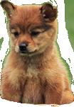 Cuccioli di akita inu in regalo