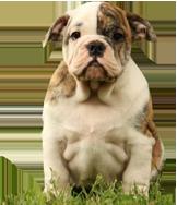 Bulldog Inglese Cani e Cuccioli