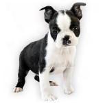 vendita cuccioli boston terrier