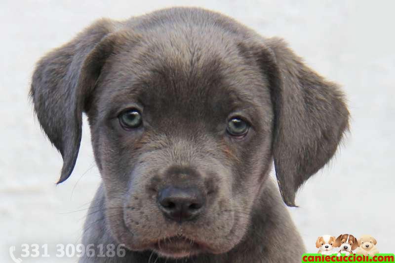 Cane corso - Cani e Cuccioli