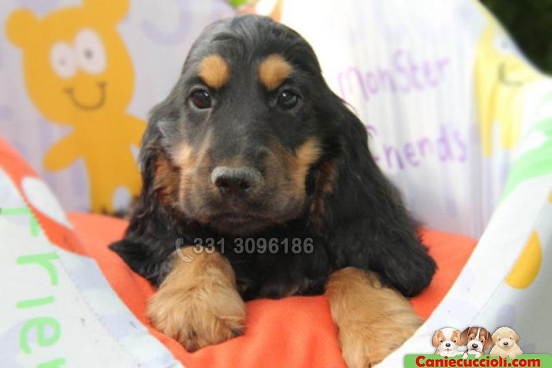 Cucciolo Coker Nero Focato