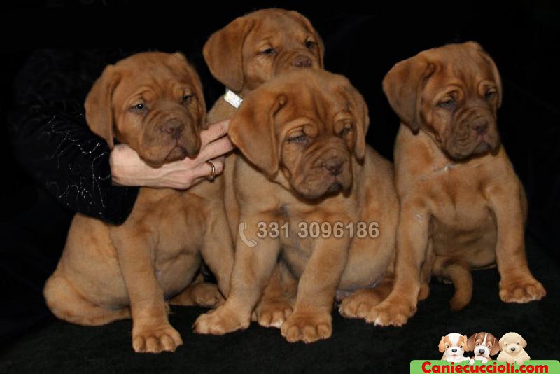 Cuccioli di Dog De Bordeaux