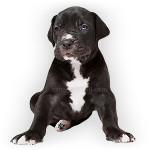 vendita cuccioli alano