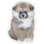 vendita cuccioli akita inu