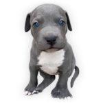 vendita cuccioli American Staffordshire Terrier