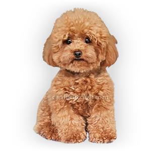 vendita cuccioli barboncino toy e nano