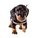 vendita cuccioli bassotto nano