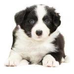vendita cuccioli border collie