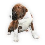 vendita cuccioli boxer
