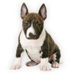 vendita cuccioli bull terrier