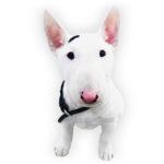vendita cuccioli bullterrier miniature
