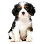 vendita cuccioli cavalier king