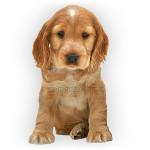 vendita cuccioli cocker spaniel inglese