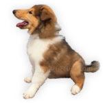 Vendita Cuccioli Collie - Pastore scozzese
