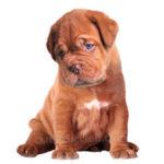 vendita cuccioli Dogue De Bordeaux