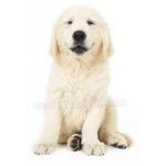 vendita cuccioli golden retriever