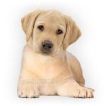 vendita cuccioli labrador