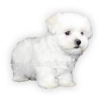 vendita cuccioli maltese toy