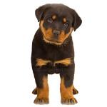 vendita cuccioli rottweiler